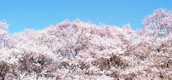 桜の名所!都立谷中霊園を徹底紹介!